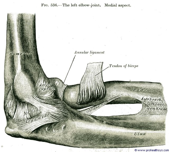 Elbow joint medial and annular ligaments medial view - Figure 536