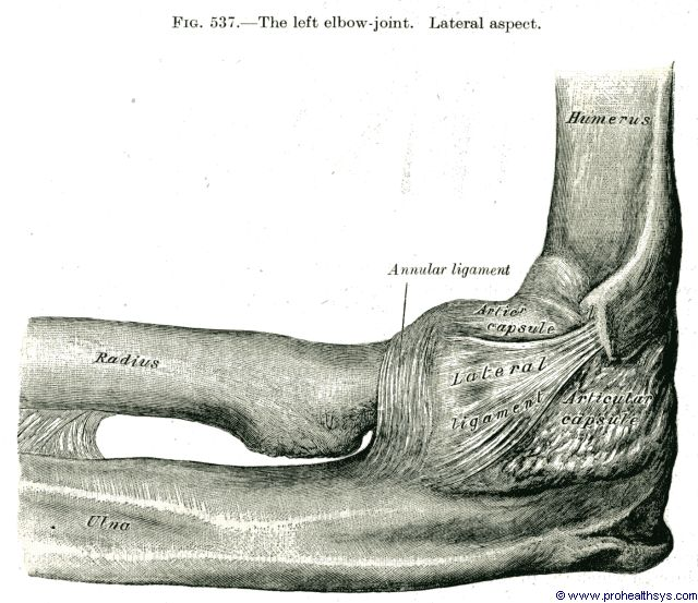 Elbow joint lateral and annular ligaments lateral view - Figure 537