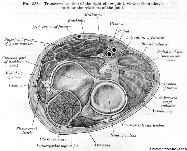 Elbow joint muscles, nerves, arteries, ligaments, transverse section - Figure 538