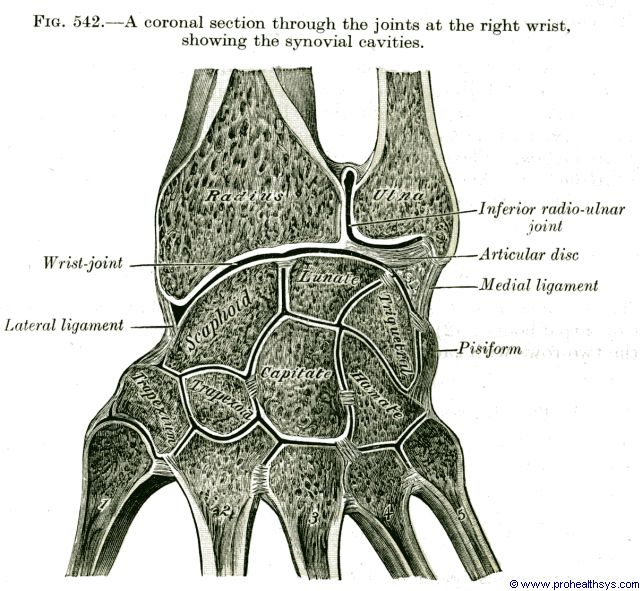 Wrist synovial cavities coronal section - Figure 542