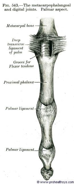 Metacarpophalangeal and digital joints palmar view - Figure 543