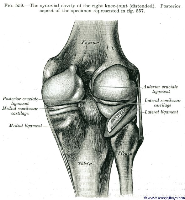 Synovial cavity of the knee joint posterior view - Figure 559