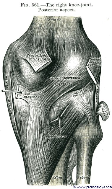 Knee joint ligaments popliteus posterior view - Figure 561