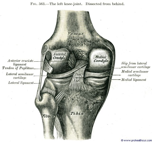 Knee joint posterior and anterior cruciate ligaments, medial and lateral ligaments, posterior view - Figure 563