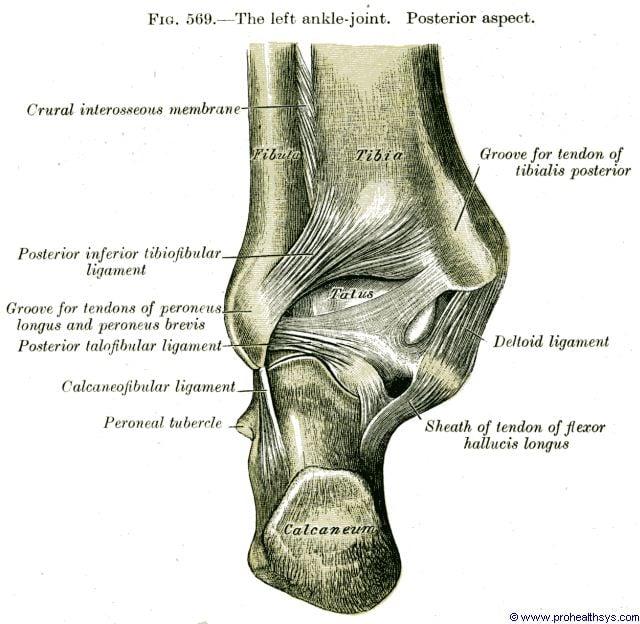 Ankle joint posterior talofibular, posterior inferior tibiofibular and deltoid ligament posterior vi - Figure 569
