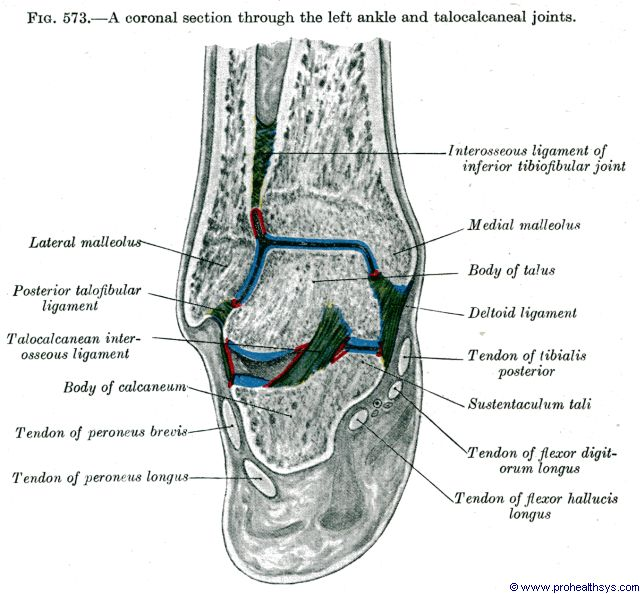 Ankle joint coronal section - Figure 573