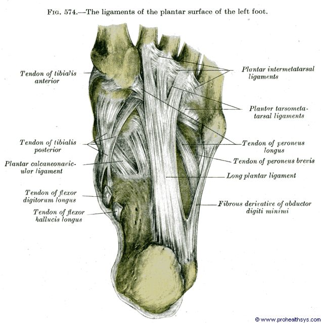 Foot ligaments plantar view - Figure 574