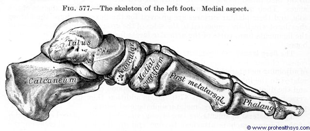 Left foot bones medial view - Figure 577