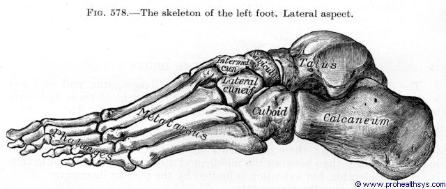 Left foot bones lateral view - Figure 578