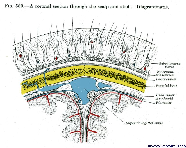 Muscles of the Scalp - Prohealthsys