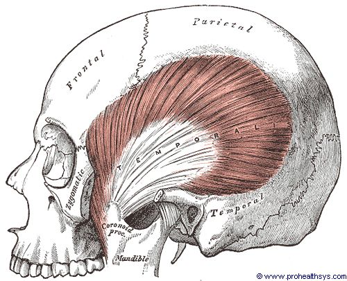 Left temporalis muscle lateral view - Figure 585