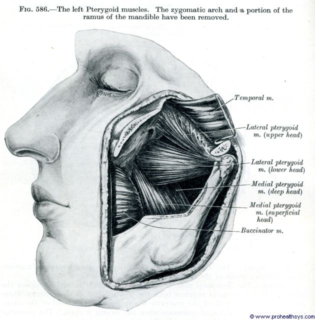 Left pterygoid muscles lateral view - Figure 586