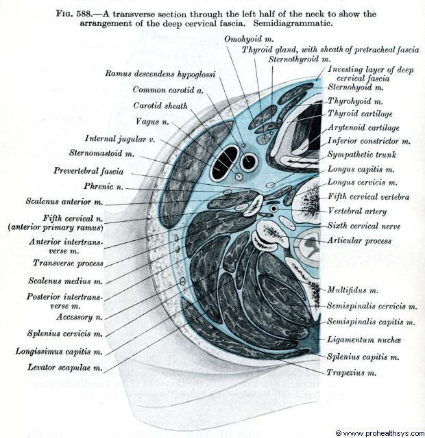 Left half of neck muscles, arteries, nerves, veins, cartilage transverse section - Figure 588