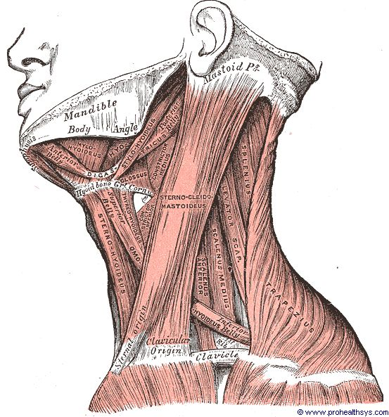 Superficial Lateral Cervical Muscles Prohealthsys