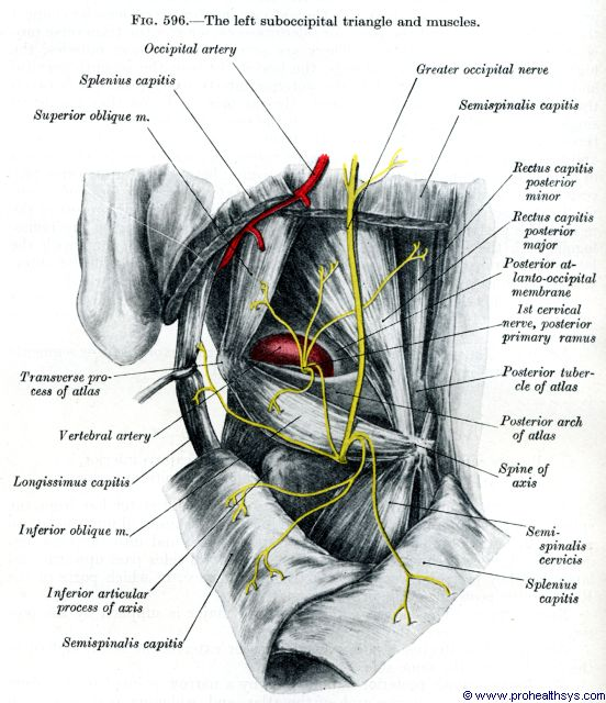Left suboccipital muscles, nerves, and arteries, posterolateral view - Figure 596