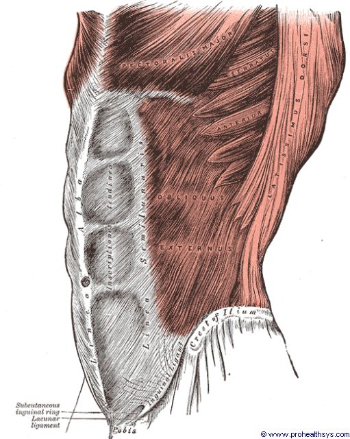 Superifical abdominal and chest muscle lateral view - Figure 600