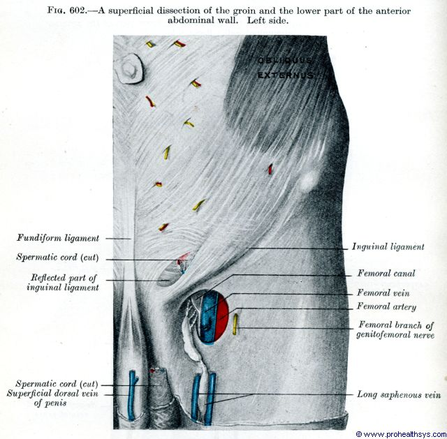 Left superficial abdominal wall and groin femoral vein and artery anterior view - Figure 602