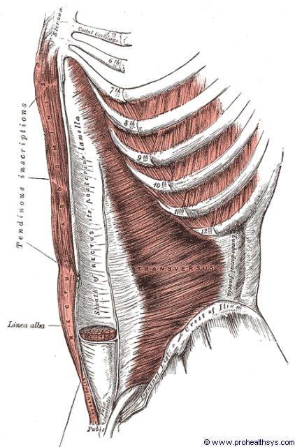 Transversus abdominis and rectus abdominis anterolateral view - Figure 605