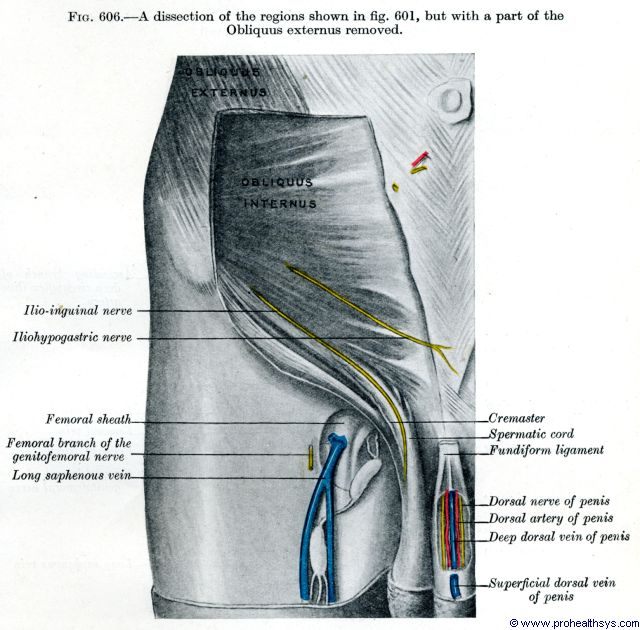 Right deep lower abdominal wall and groin dorsal nerve, artery, deep dorsal vein, and long saphenous - Figure 606