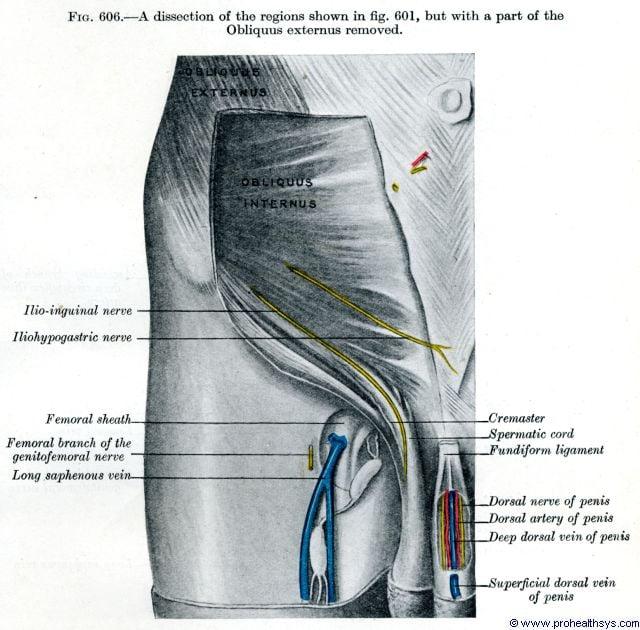 Right deep lower abdominal wall and groin dorsal nerve, artery, deep dorsal vein, and long saphenous - Figure 606