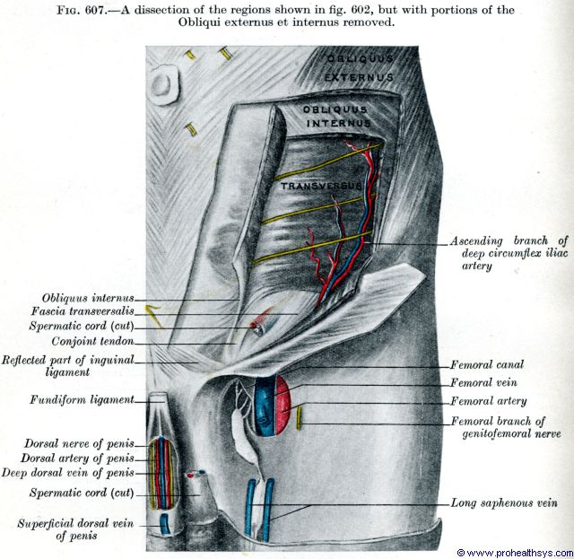 Left deep abdominal wall and groin veins, arteries, and nerves anterior view - Figure 607