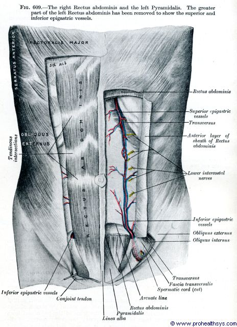 Superficial abdominal muscles, arteries and veins anterior view - Figure 609