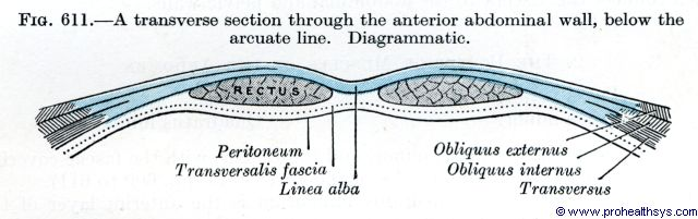 Anterior abdominal wall transverse section below arcuate line - Figure 611