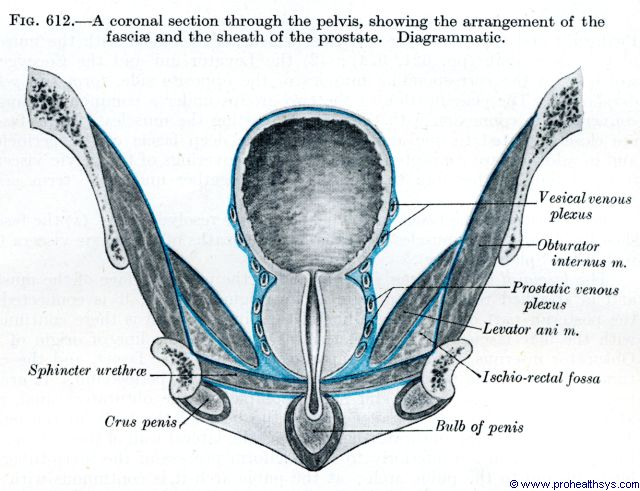 Male pelvis, prostate coronal section - Figure 612