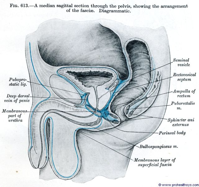 Male pelvis median sagittal section - Figure 613