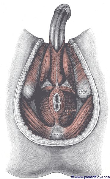 Male pelvis muscles inferior view - Figure 615