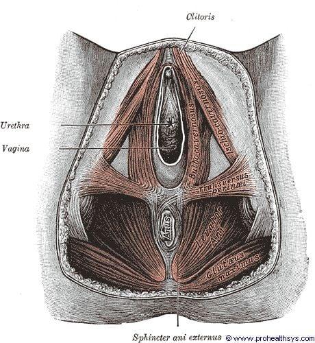 Femal pelvis muscles inferior view - Figure 617
