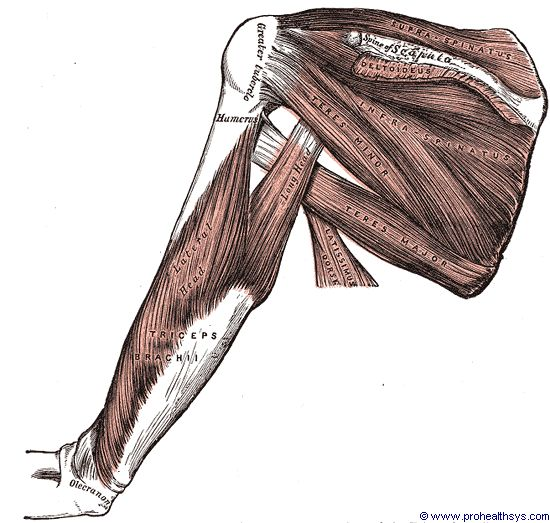Left deep shoulder and arm muscles posterior view - Figure 621