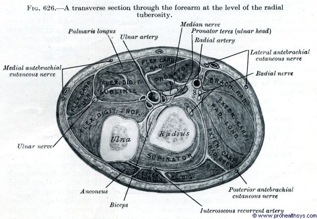 Forarm muscles, arteries, nerves, veins, transverse section at radial tuberosity - Figure 626