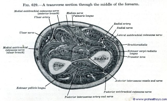 Forarm muscles, arteries, nerves, veins, transverse section at middle of forarm - Figure 629