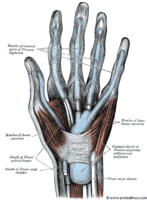 Left wrist transverse carpal ligament anterior view - Figure 635