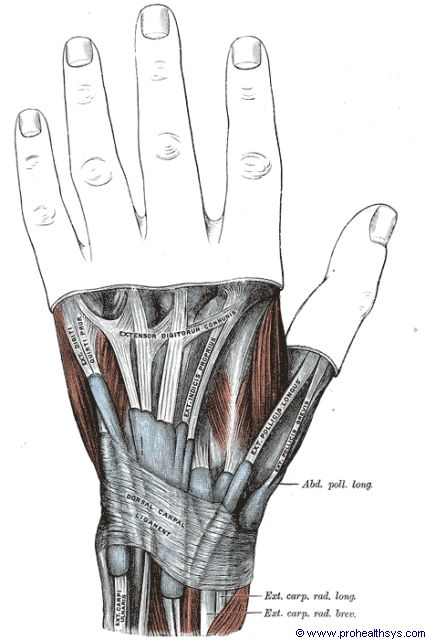Left wrist dorsal carpal ligament posterior view - Figure 636