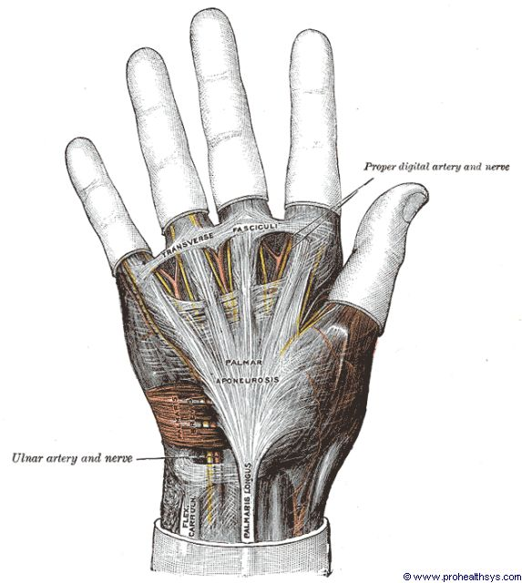 Right hand palmar aponeurosis anterior view - Figure 637