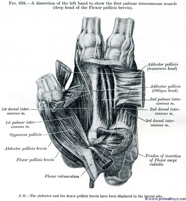 Muscles and Fascia of the Hand - Prohealthsys