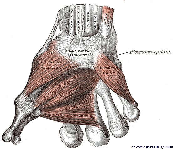 Right wrist muscles and ligaments anterior view - Figure 639