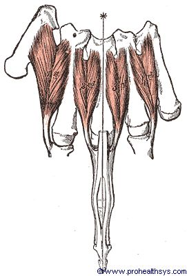 First, Second, Third, and Fourth lumbrical muscles anterior view - Figure 641