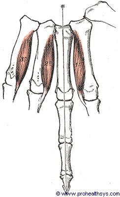 Palmar interosseous muscles palmar view - Figure 642