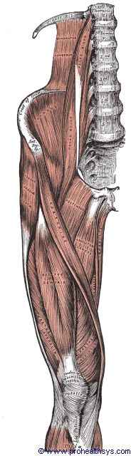 Left thigh muscles anterior view - Figure 643