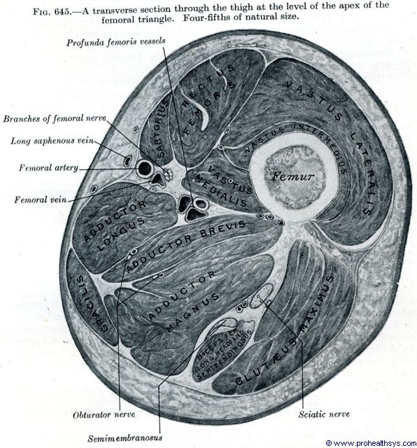 Thigh muscles transverse section at the level of the apex of the triangle - Figure 645