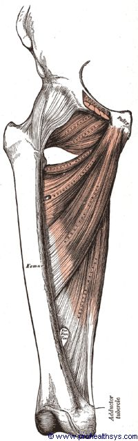Thigh muscles adductors - Figure 646