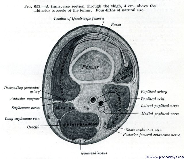 Thigh muscles transverse section at the adductor tubercle of the femur - Figure 653