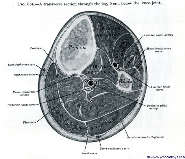 Leg muscles, arteries, nerves, veins transverse section - Figure 654