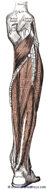 Deep posterior leg muscles posterior view - Figure 657