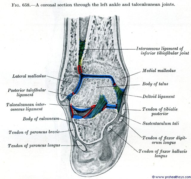 Ankle bones and ligaments coronal section - Figure 658