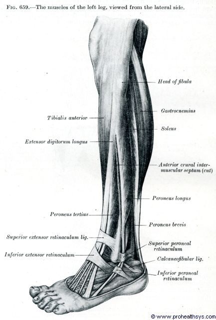 Leg muscles lateral view - Figure 659