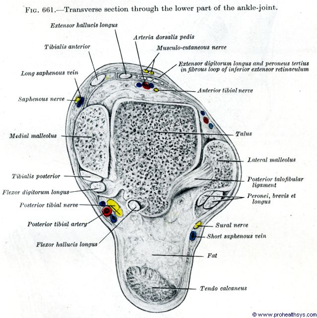 Lower ankle muscles, arteries, nerves, veins, transverse section - Figure 661
